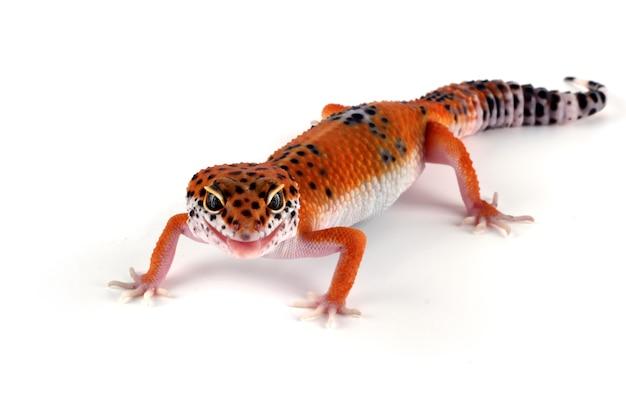 Pomarańczowa jaszczurka gekon na białym tle