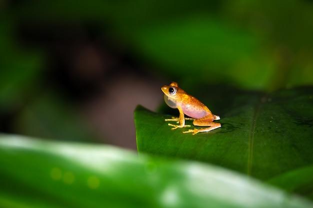 Pomarańczowa mała żaba na zielonym liściu