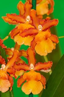 Pomarańczowa orchidea cambria catatante