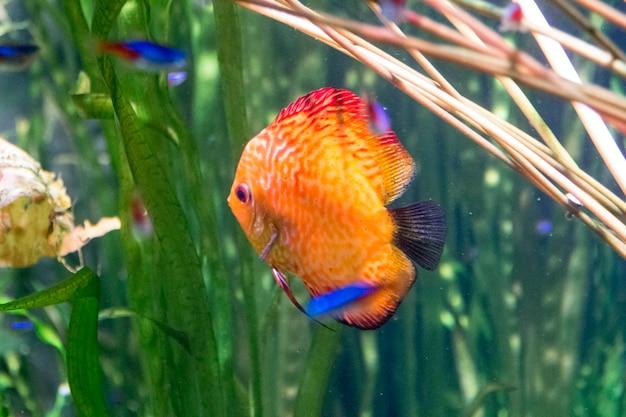 Pomarańczowa płaska ryba rafowa pływająca w wodzie