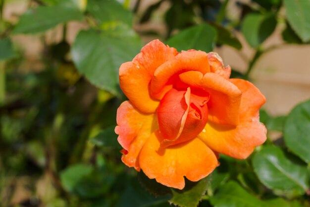 Pomarańczowa róża i światło słoneczne. róża w ogrodzie na słoneczny dzień. piękny kwiat