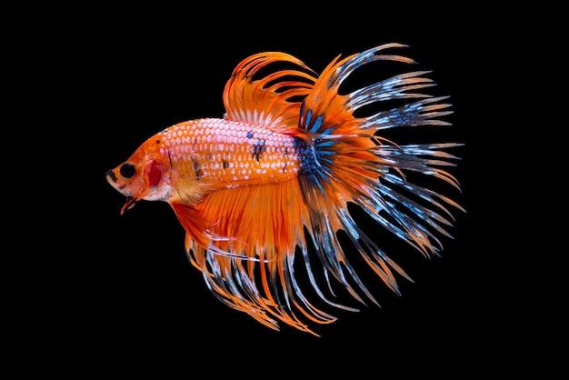 Pomarańczowa ryba bojowa syjamska
