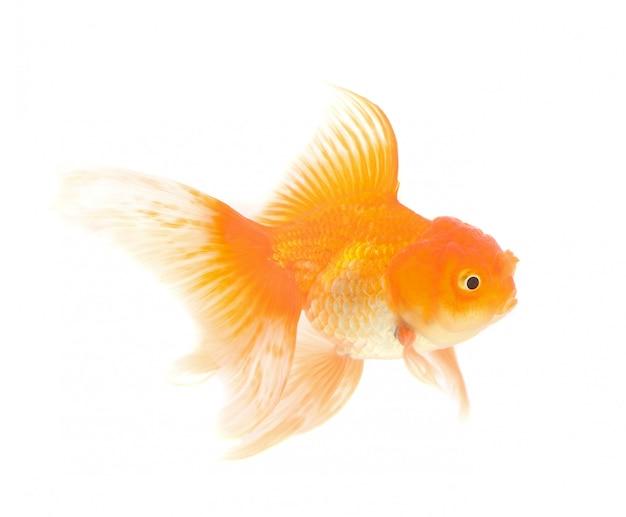 Pomarańczowa złota rybka odizolowywająca na biel przestrzeni