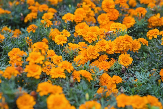Pomarańczowe aksamitki lub kwiaty nagietka. tło kwiatowy. selektywne ustawianie ostrości