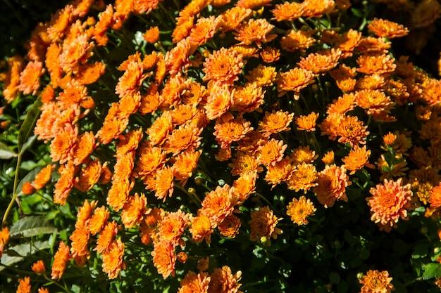 Pomarańczowe chryzantemy na kwietniku w ogrodzie jesienią