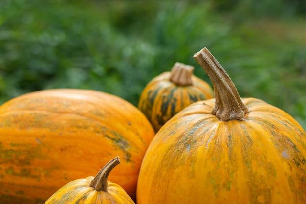 Pomarańczowe dojrzałe dynie w ogrodzie, świeże organiczne warzywa z ogrodu
