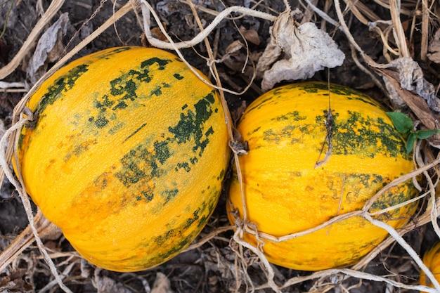 Pomarańczowe dojrzałe dynie w ogrodzie