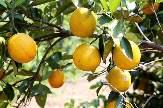 Pomarańczowe drzewo w pomarańczowej farmie.