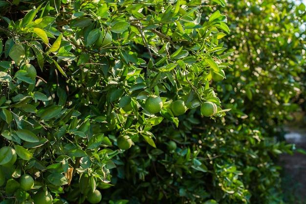 Pomarańczowe drzewo z zielonymi pomarańczami w ogrodzie