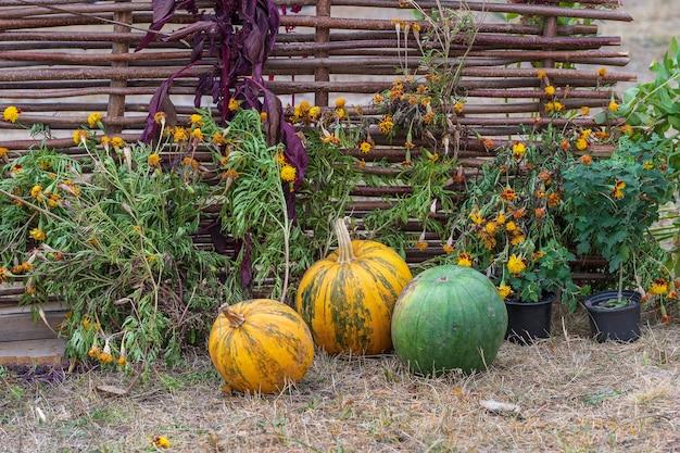 Pomarańczowe dynie surowe i żółte kwiaty w pobliżu wiklinowego ogrodzenia, ukraina, z bliska, na zewnątrz