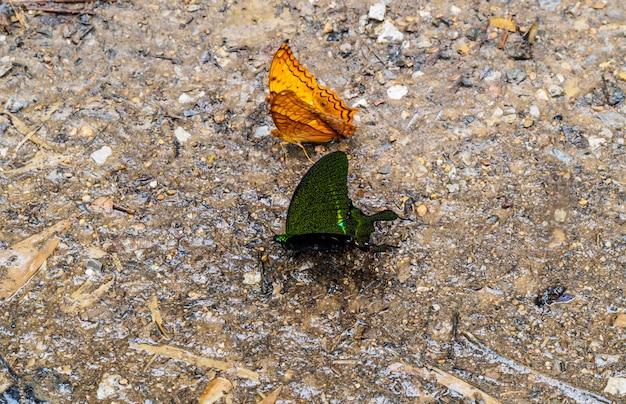 Pomarańczowe i czarne motyle na kamiennej ziemi