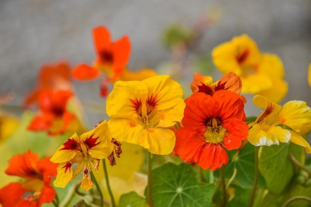 Pomarańczowe i żółte kwiaty nasturcji, liście na początku lata,