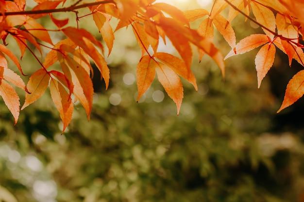 Pomarańczowe jesienne liście klonu na gałęziach