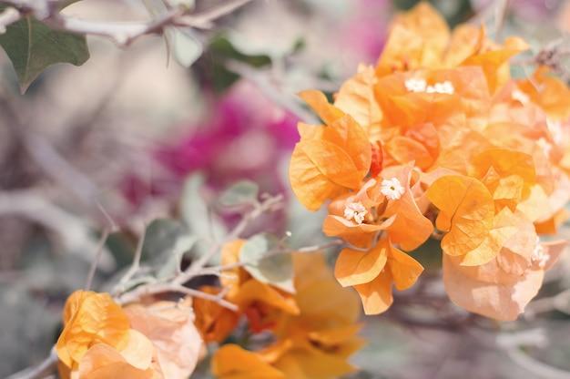 Pomarańczowe kwiaty bugenwilli