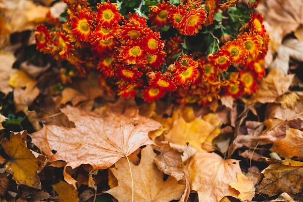 Pomarańczowe kwiaty chryzantemy na tle opadłych liści z miejscem na kopię i selektywną ostrością