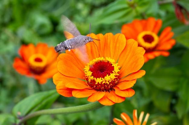 Pomarańczowe kwiaty cyni są zapylane przez ćmy jastrzębia. uprawa kwiatów i ogrodnictwo.