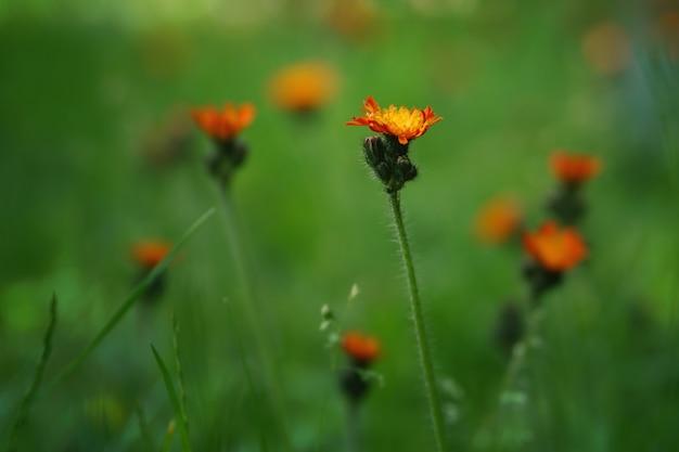 Pomarańczowe kwiaty na łące