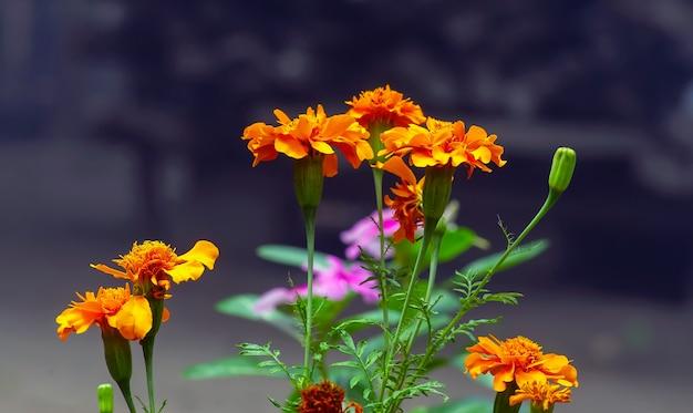 Pomarańczowe kwiaty nagietka lekarskiego (calendula officinalis) w płytkiej ostrości