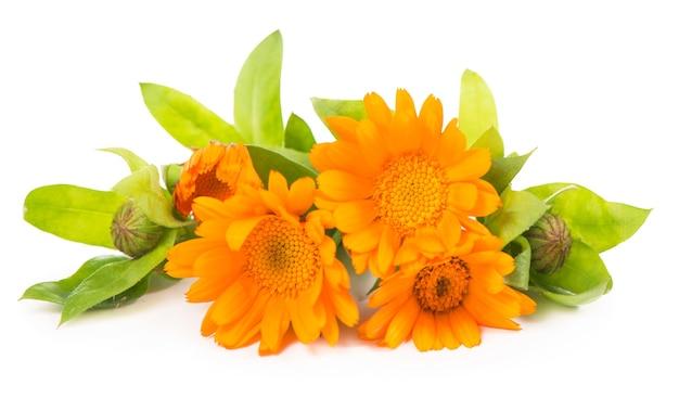 Pomarańczowe kwiaty nagietka na białym tle