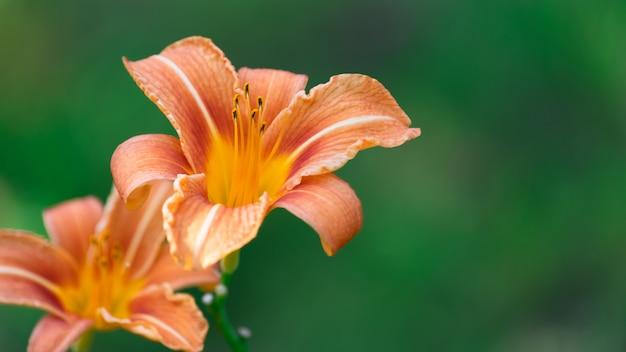 Pomarańczowe liliowce na zielonym tle
