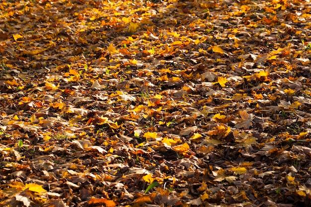 Pomarańczowe liście klonu i innych drzew liściastych pokrywające glebę w lesie, pora zachodu słońca w okresie jesiennym, część liści oświetlona światłem słonecznym