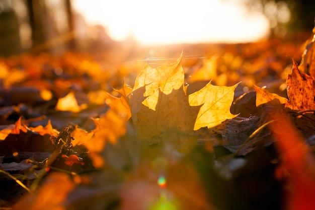 Pomarańczowe liście klonu leżące na ziemi po upadku z drzew, zbliżenie