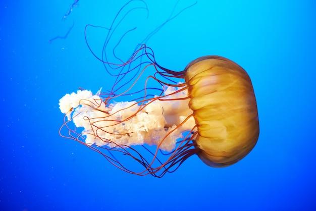 Pomarańczowe meduzy (chrysaora fuscescens)