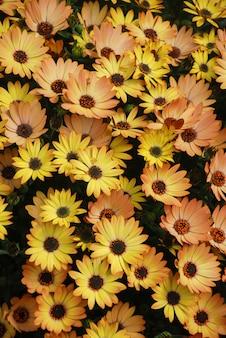 Pomarańczowe osteospermum lub dimorphotheca kwiaty w kwietniku