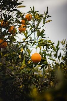Pomarańczowe owoce na drzewie w ciągu dnia