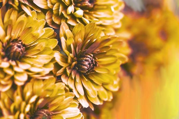 Pomarańczowe płatki dalii makro kwiatowy streszczenie tło zbliżenie chryzantemy dalii flowes