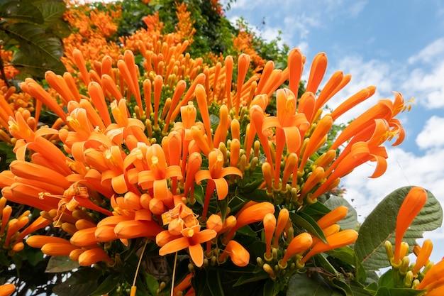 Pomarańczowe płonące kwiaty winorośli trąbka pod niebem na tajwanie