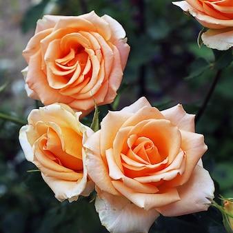 Pomarańczowe róże w ogrodzie, zbliżenie
