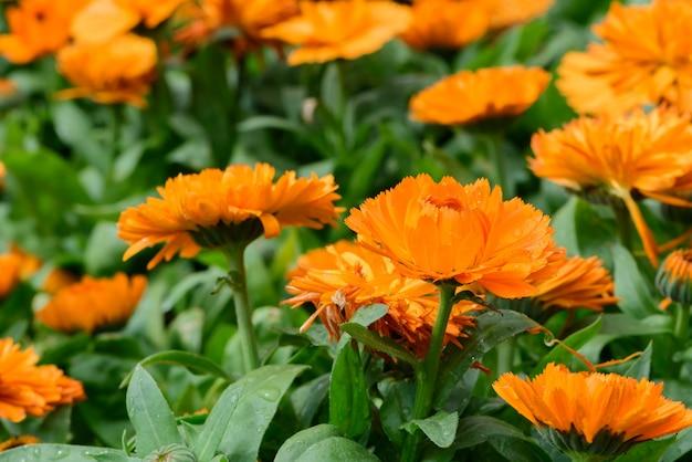Pomarańczowi chryzantema kwiaty w natura ogródzie przy doi inthanon chiang mai tajlandia