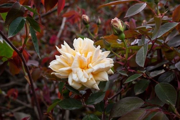 Pomarańczowo-różowe i brzoskwiniowe róże ninetta honeybun. róża o delikatnym odcieniu w ogrodzie na krzaku