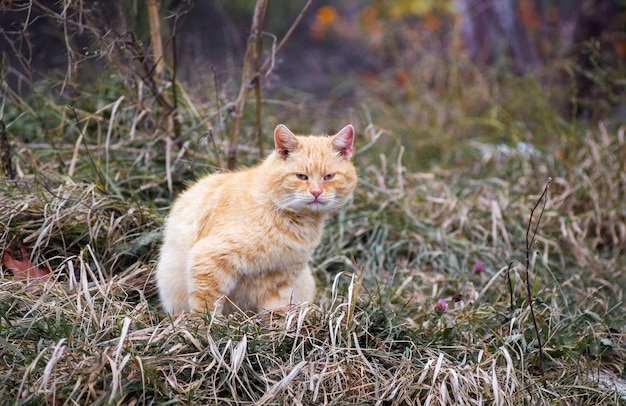 Pomarańczowy bezpański kot siedzi na trawie w ogrodzie
