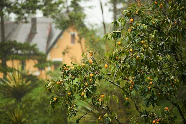 Pomarańczowy drzewo z domem w tle