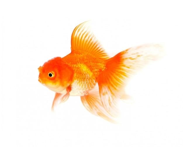 Pomarańczowy goldfish odizolowywający na białym tle