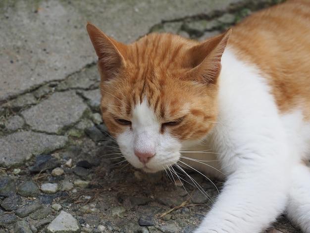 Pomarańczowy i biały pręgowany kot