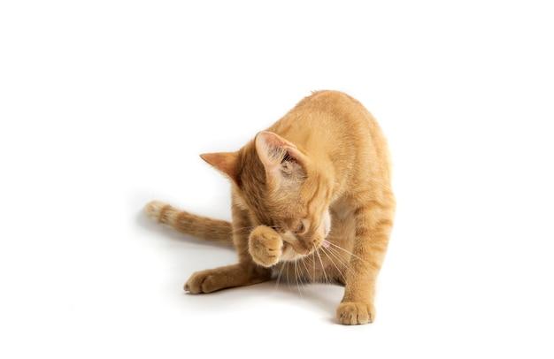Pomarańczowy kot mama ilustracja na białym tle na białym tle