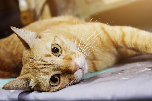 Pomarańczowy kot relaksuje i śpi na podłodze