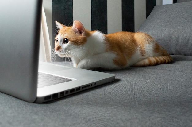 Pomarańczowy kot siedzi w pobliżu laptopa