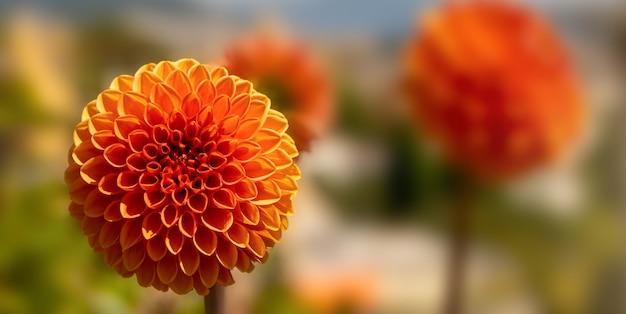 Pomarańczowy kulkowy kwiat z niewyraźne tło.