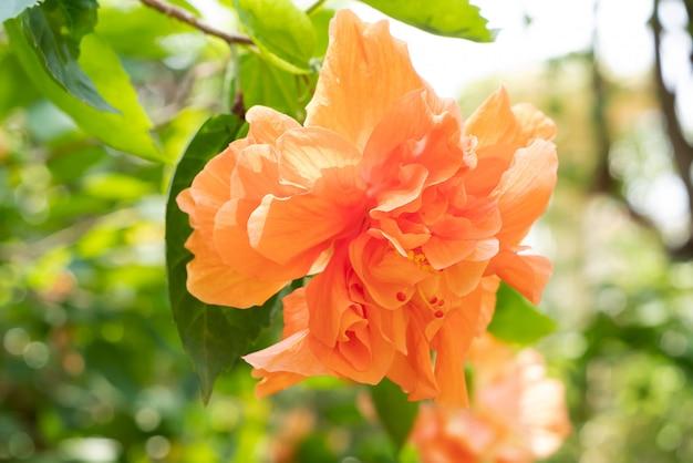 Pomarańczowy kwiat buta lub chińska róża i zielony liść