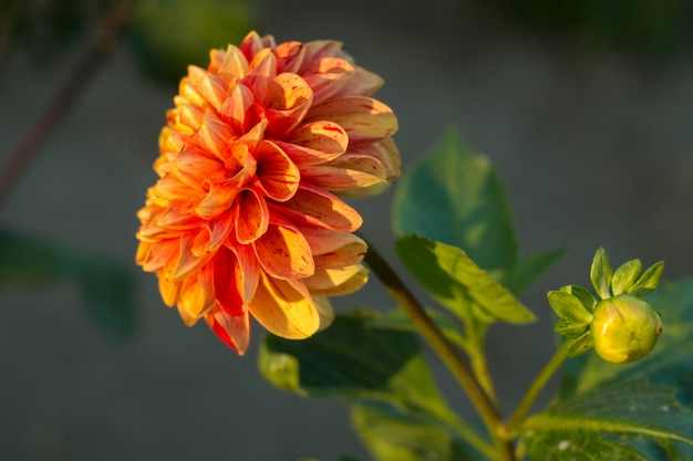 Pomarańczowy kwiat dalii na krzaku, zbliżenie