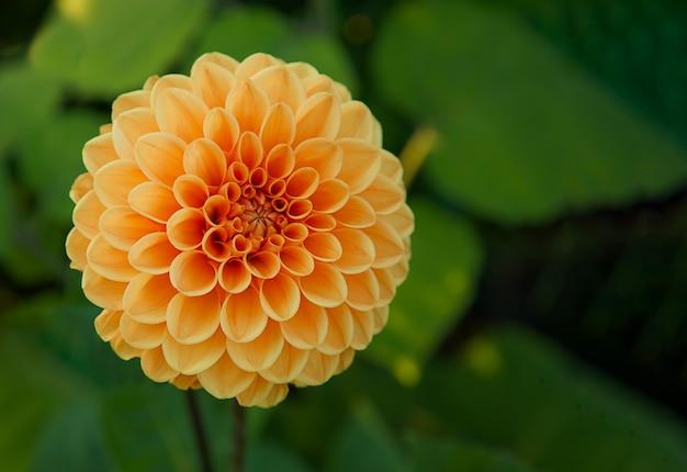 Pomarańczowy kwiat dalii na zielonym, niewyraźnym tle