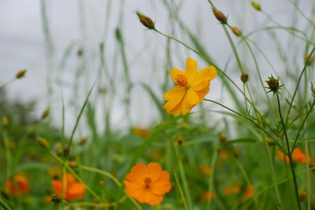 Pomarańczowy kwiat kosmosu. zbliżenie dzikie kwiaty łąka na użytkach zielonych z zielonym tłem.