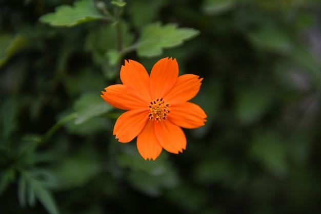Pomarańczowy kwiat kosmosu