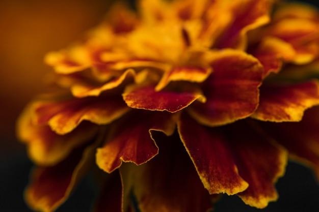 Pomarańczowy kwiat z brązowym nagietkiem na ciemnym tle