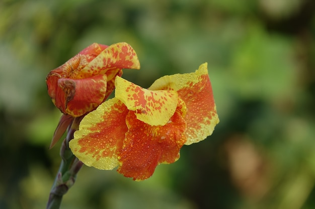 Pomarańczowy kwiat z żółtymi krawędziami