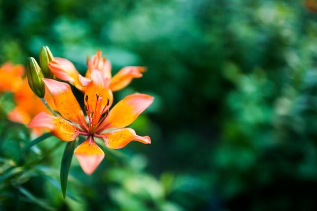 Pomarańczowy lelui martagon na zielonym tle